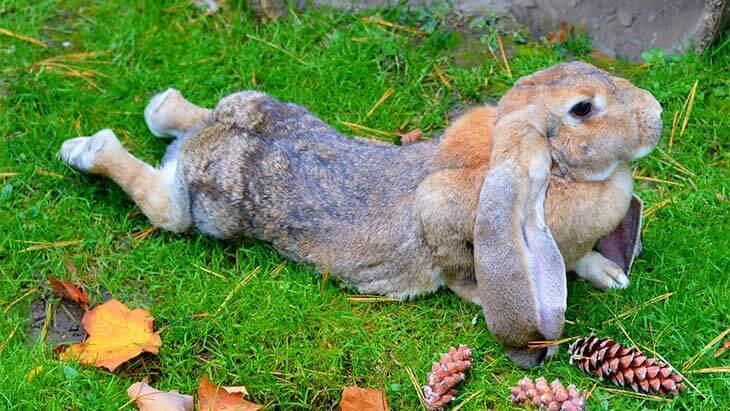 Английский вислоухий кролик баран