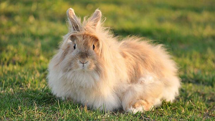 Порода кролика Ангорский лев