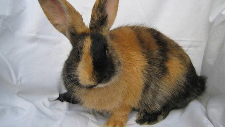 Японская порода кроликов