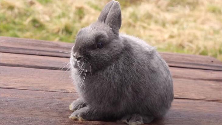 Карликовый кролик Минор