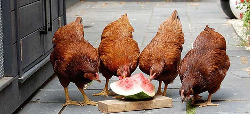 Курицы едят арбуз