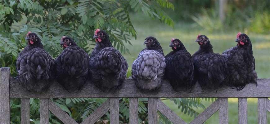 Куры на заборе
